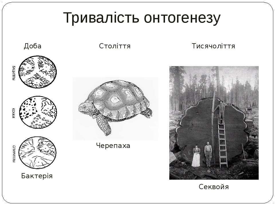 Тривалість онтогенезу Століття Доба Бактерія Черепаха Тисячоліття Секвойя