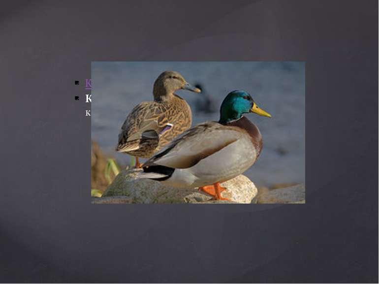Крижень - знайомий незнайомець Крижень - найбільша і найпоширеніша дика качка...