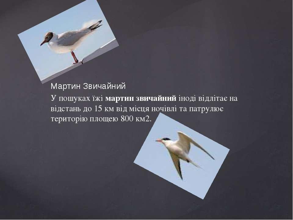 Мартин Звичайний У пошуках їжі мартин звичайний іноді відлітає на відстань до...