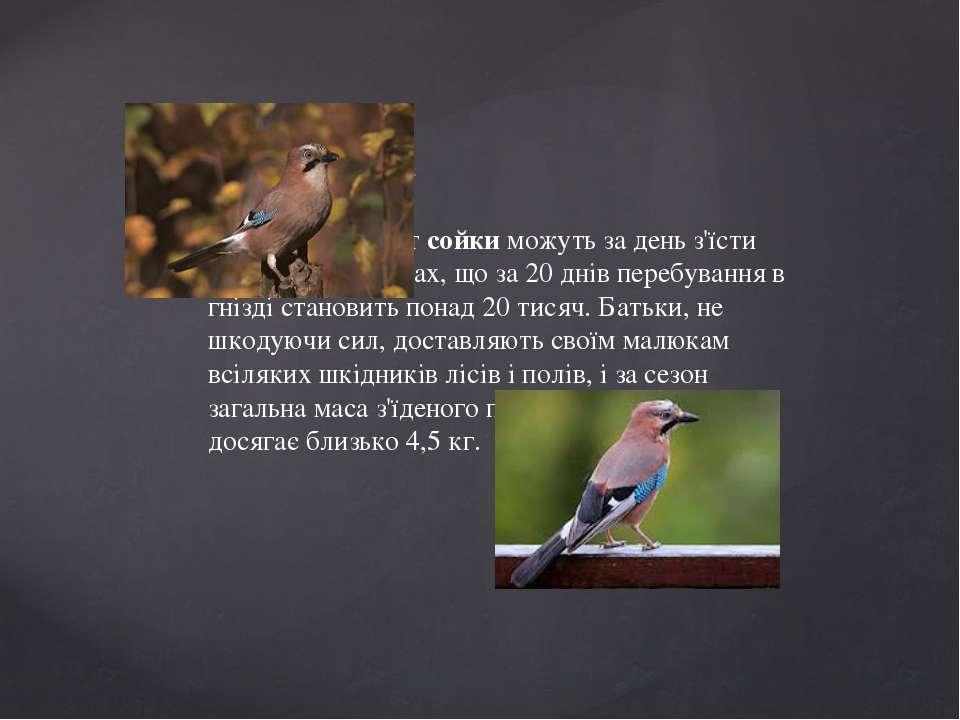 Дивовижна сойка  П'ятеро пташенят сойки можуть за день з'їсти близько 1100 к...