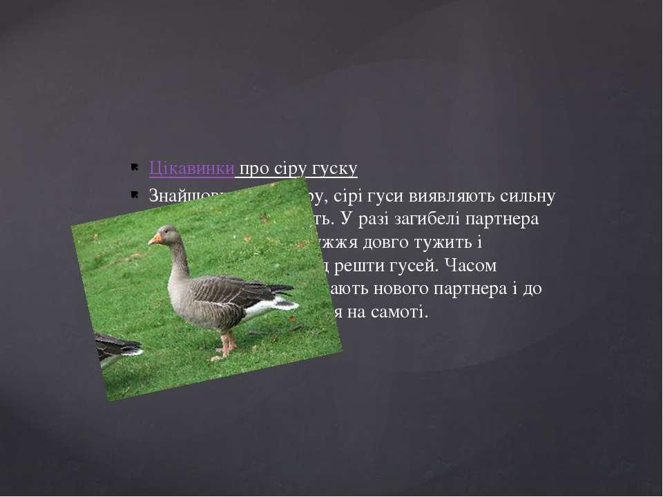 Цікавинки про сіру гуску Знайшовши собі пару, сірі гуси виявляють сильну взає...