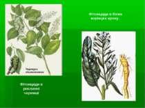 Фітонциди в рослинні черемші Фітонциди в білих корінцях хрону..