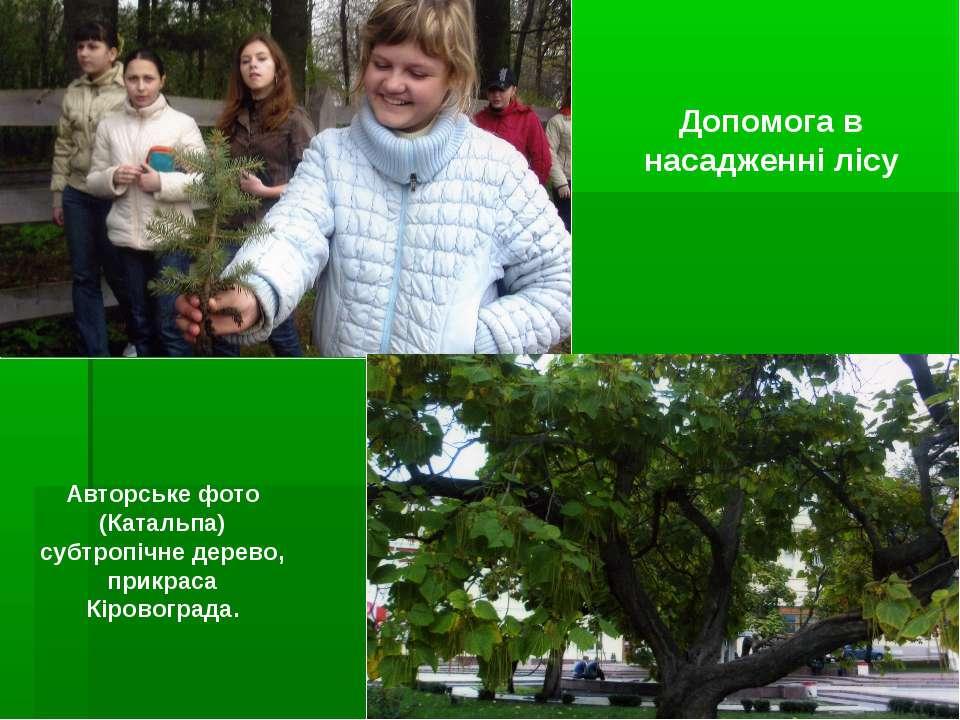 Допомога в насадженні лісу Авторське фото (Катальпа) субтропічне дерево, прик...