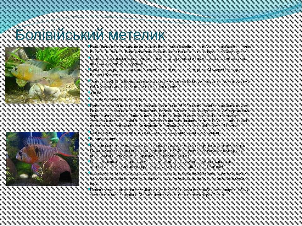 Болівійський метелик Болівійський метелик-це ендемічний вид риб з басейну річ...