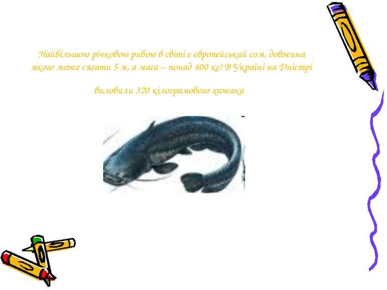 Найбільшою річковою рибою в світі є європейський сом, довжина якого може сяга...