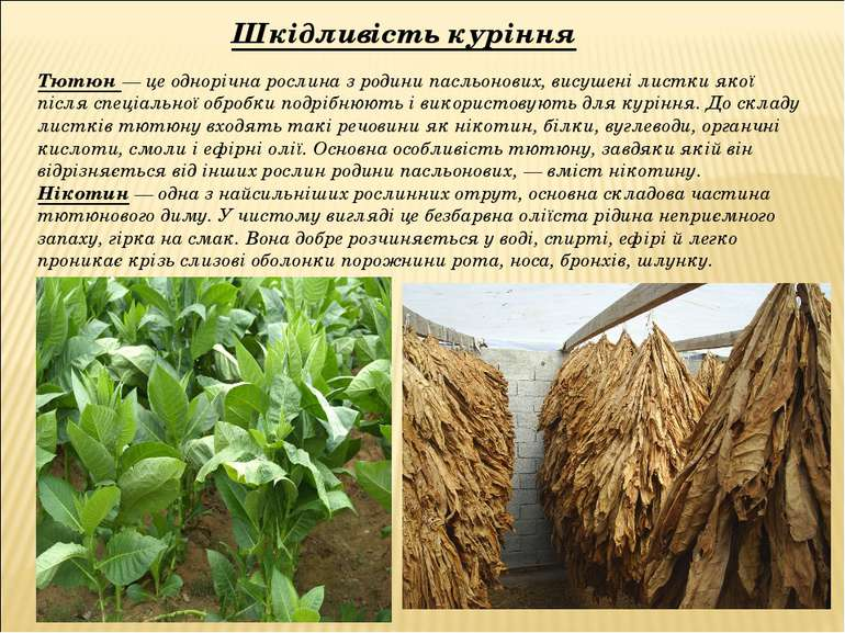 Тютюн — це однорічна рослина з родини пасльонових, висушені листки якої після...