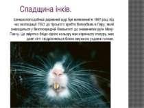 Спадщина інків. Шиншиллоподобная деревний щур був виявлений в 1997 році під ч...