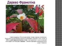 Дерево Франкліна Невеличке деревце з білосніжними квітами і яскраво-червоним ...