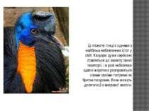 Ці літаютчі птиці є одними з найбільш небезпечних істот у світі. Казуари дуже...