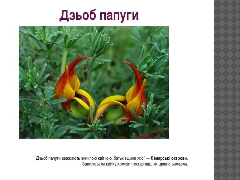 Дзьоб папуги Дзьоб папуги вважають зниклою квіткою, батьківщина якої —Канарс...