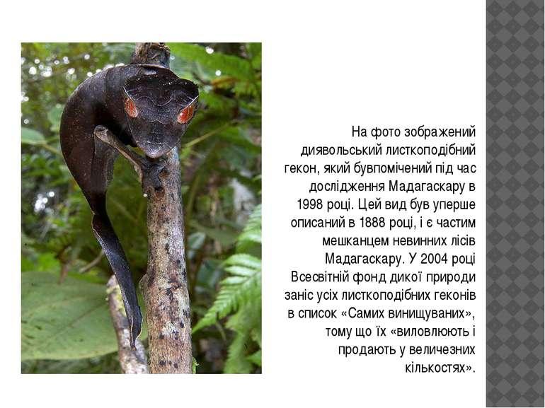 На фото зображений диявольський листкоподібний гекон, який бувпомічений під ч...
