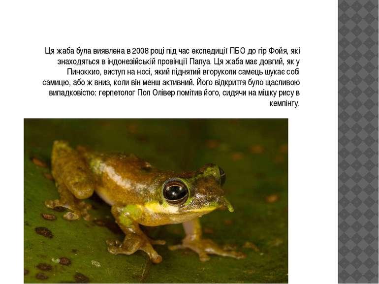 Ця жаба була виявлена в 2008 році під час експедиції ПБО до гір Фойя, які зна...