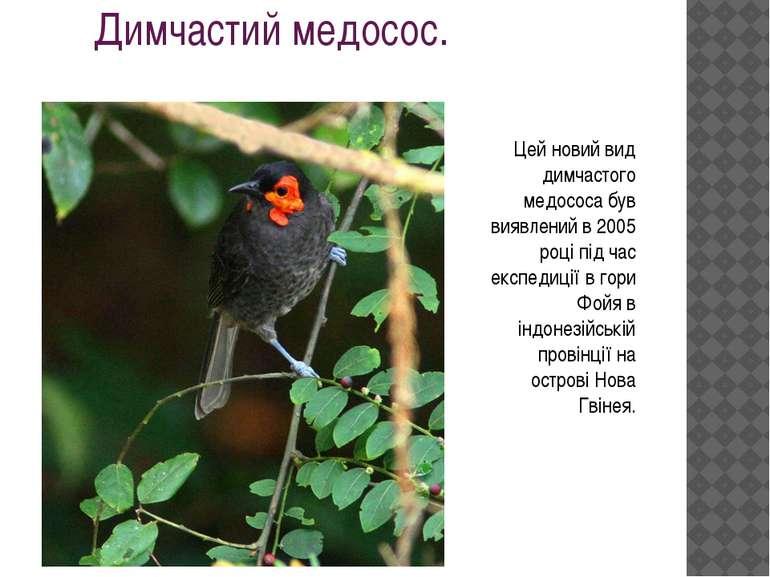 Димчастий медосос. Цей новий вид димчастого медососа був виявлений в 2005 роц...