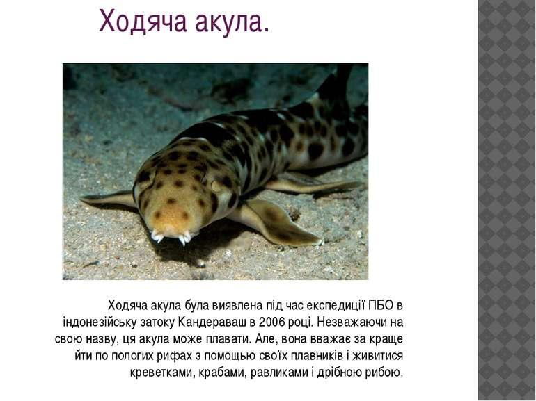 Ходяча акула. Ходяча акула була виявлена під час експедиції ПБО в індонезійсь...