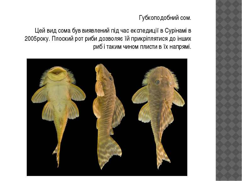 Губкоподобний сом. Цей вид сома був виявлений під час експедиції в Сурінамі в...