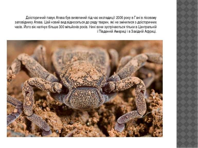 Доісторичний павук Атева був виявлений під час експедиції 2006 року в Гані в ...
