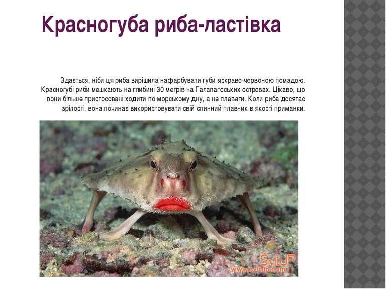 Красногуба риба-ластівка Здається, ніби ця риба вирішила нафарбувати губи яск...
