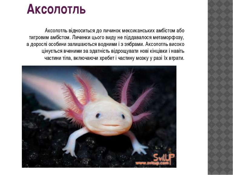 Аксолотль Аксолотль відноситься до личинок мексиканських амбістом або тигрови...