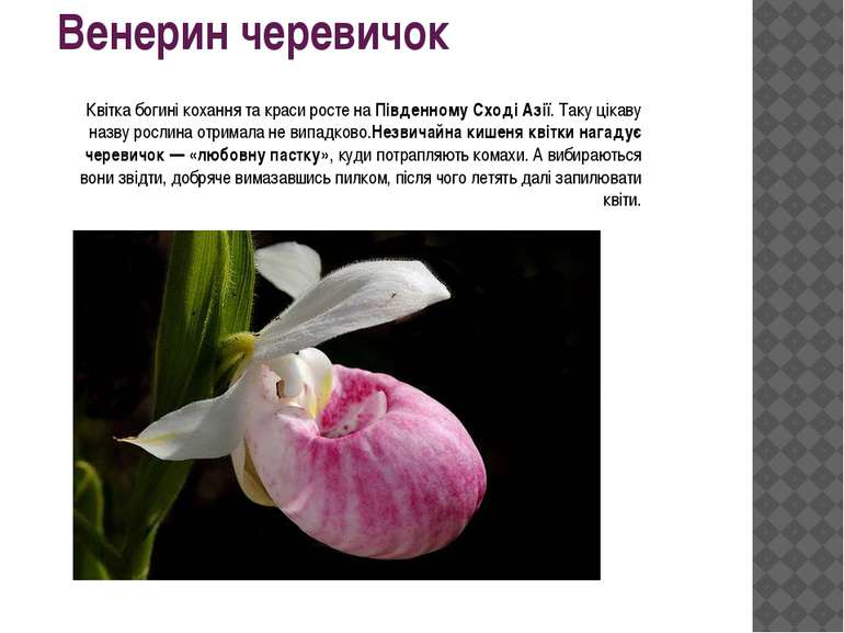 Венерин черевичок Квітка богині кохання та краси росте наПівденному Сході Аз...