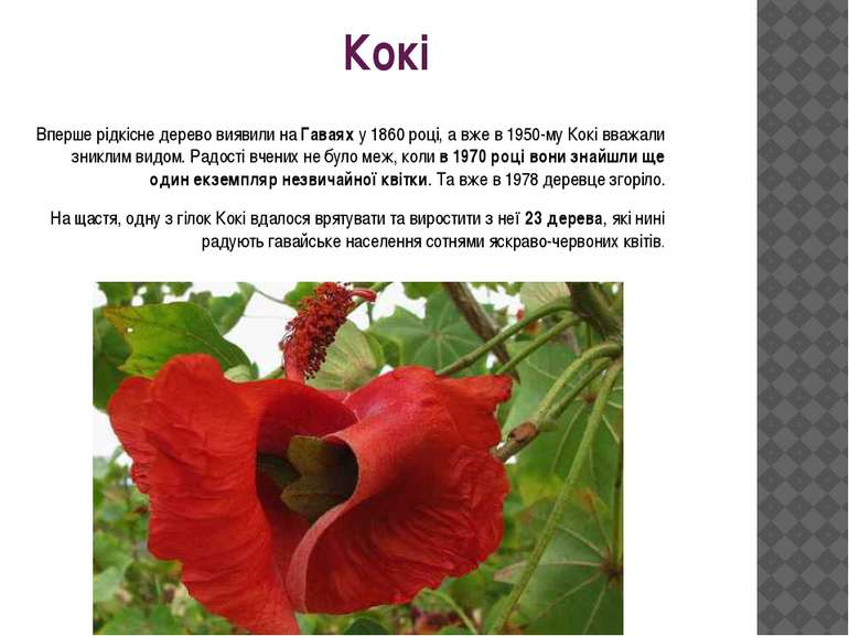Кокі Вперше рідкісне дерево виявили наГаваяху 1860 році, а вже в 1950-му Ко...