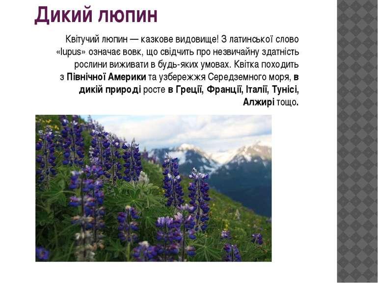 Дикий люпин Квітучий люпин — казкове видовище! З латинської слово «lupus» озн...