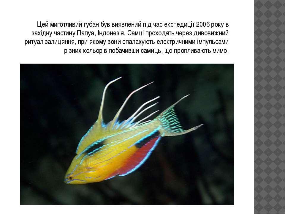 Цей миготливий губан був виявлений під час експедиції 2006 року в західну час...