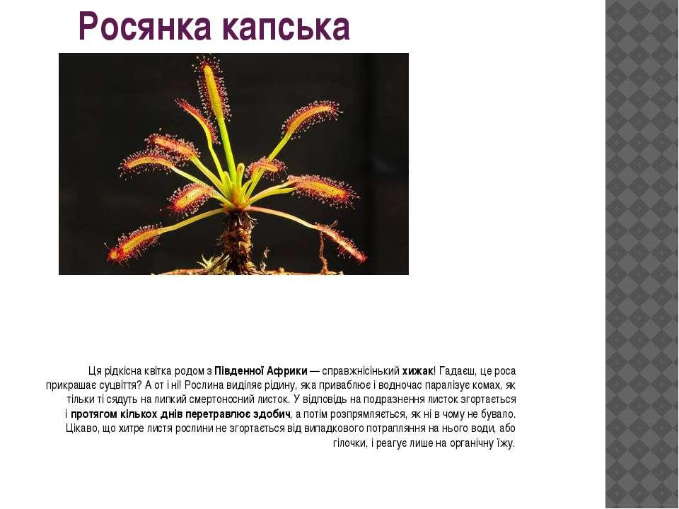 Росянка капська Ця рідкісна квітка родом зПівденної Африки— справжнісінький...