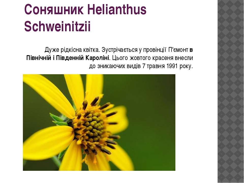 Соняшник Helianthus Schweinitzii Дуже рідкісна квітка. Зустрічається у провін...