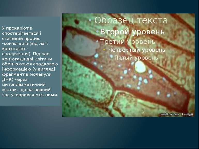 У прокаріотів спостерігається і статевий процес -кон'югація (від лат. конюгат...