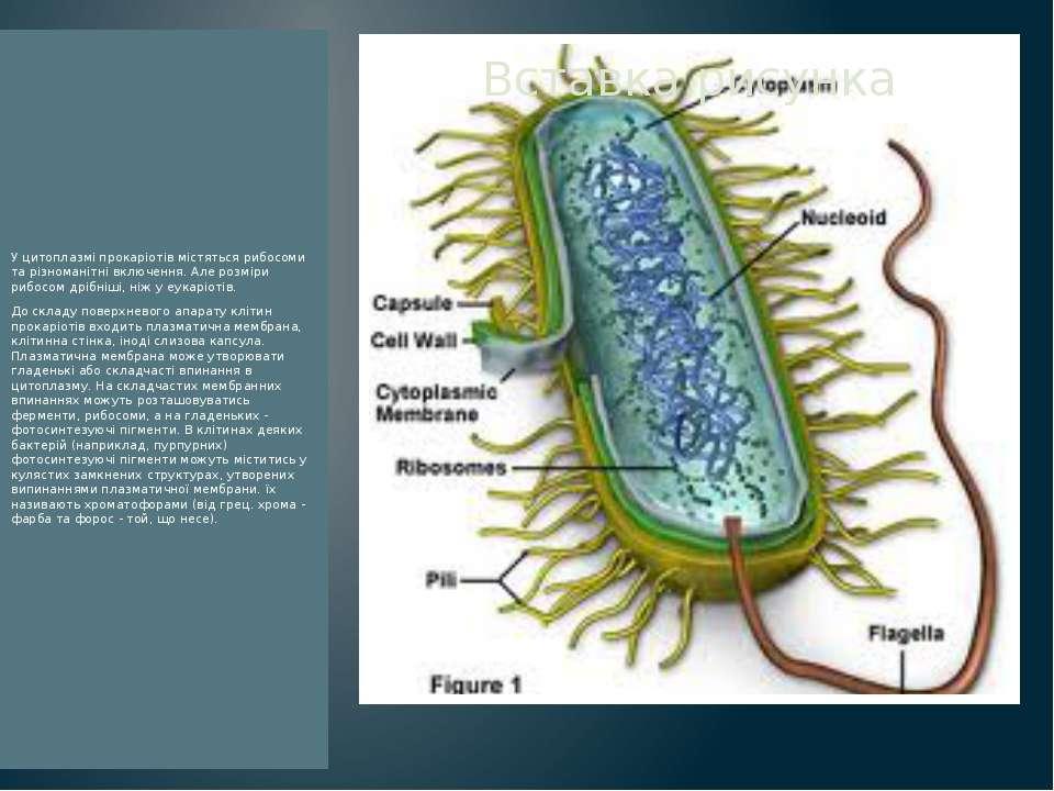 У цитоплазмі прокаріотів містяться рибосоми та різноманітні включення. Але ро...