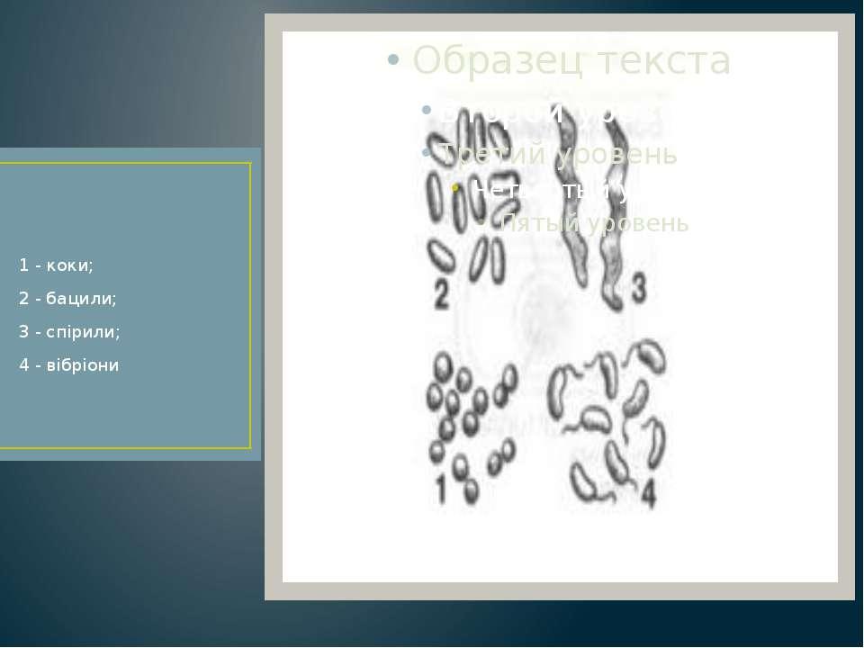 1 - коки; 2 - бацили; 3 - спірили; 4 - вібріони