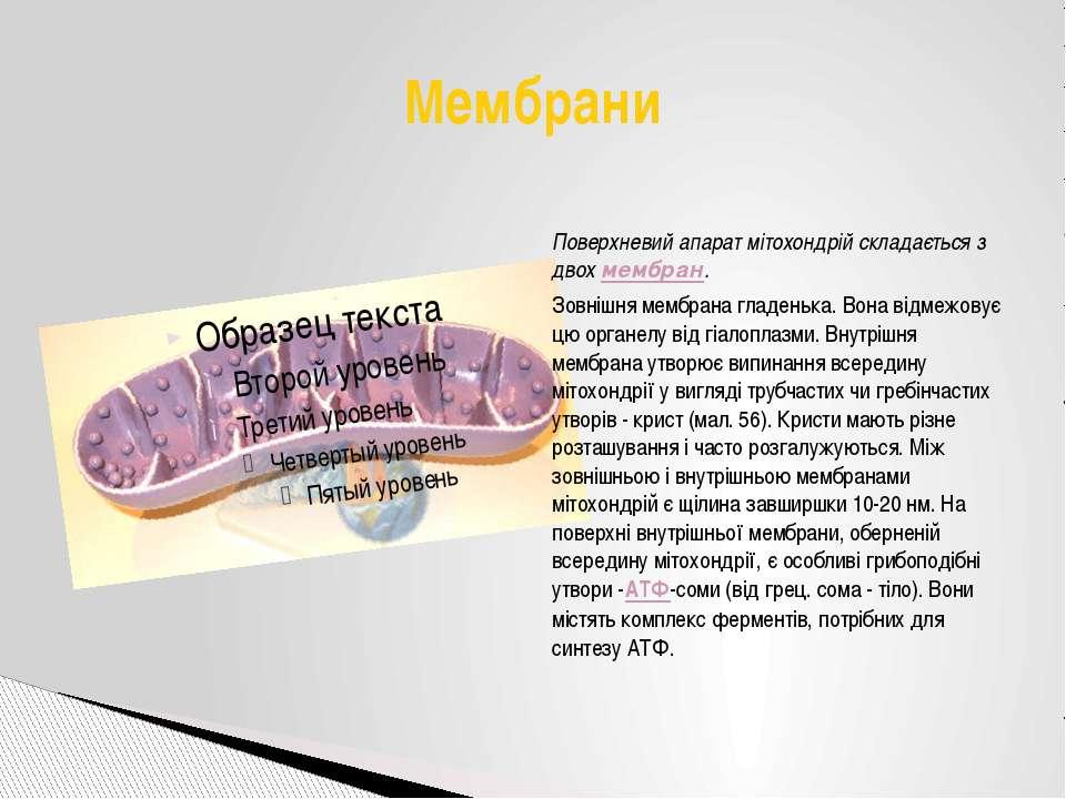 Поверхневий апарат мітохондрій складається з двохмембран. Зовнішня мембрана ...