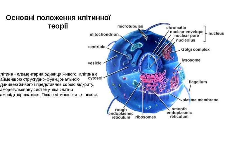Основні положення клітинної теорії Клітина - елементарна одиниця живого. Кліт...