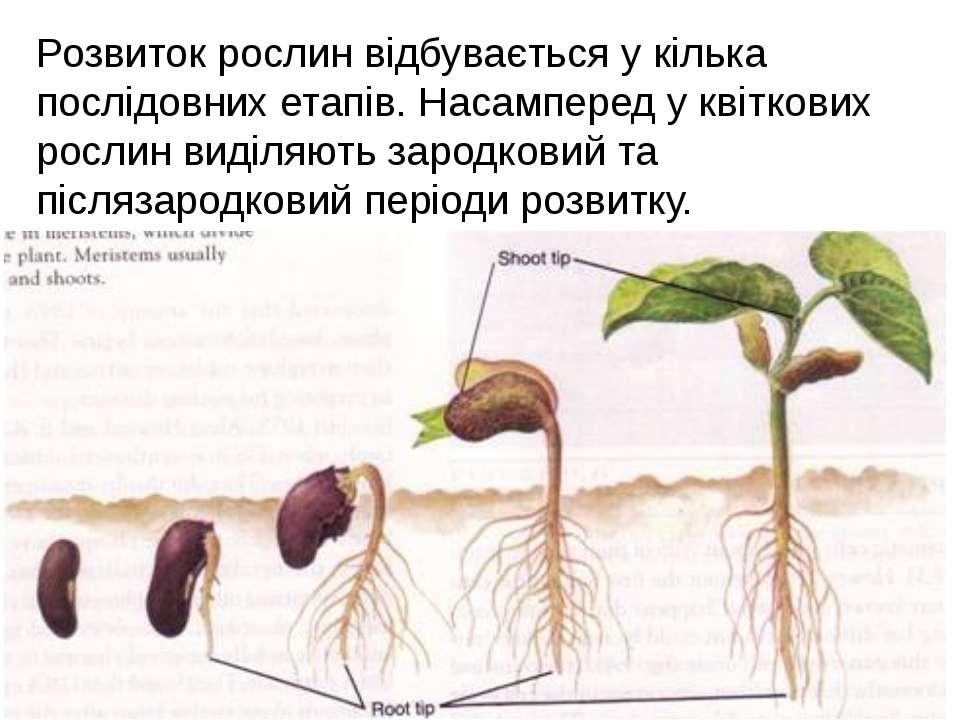 Розвиток рослин відбувається у кілька послідовних етапів. Насамперед у квітко...