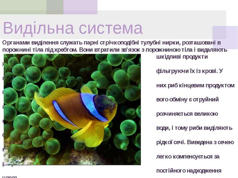 Органами виділення служать парні стрічкоподібні тулубні нирки, розташовані в ...