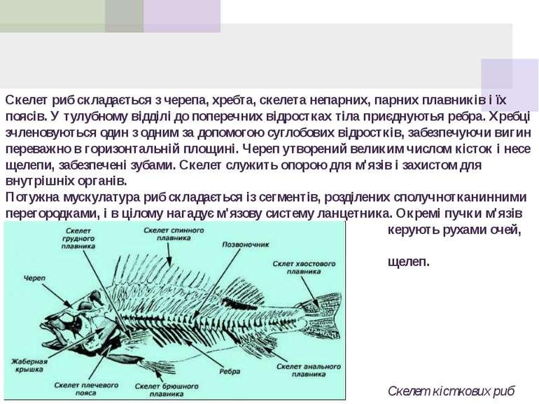 Скелет риб складається з черепа, хребта, скелета непарних, парних плавників і...