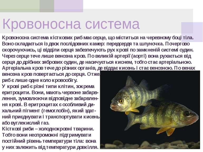 Кровоносна система Кровоносна система кісткових риб має серце, що міститься н...