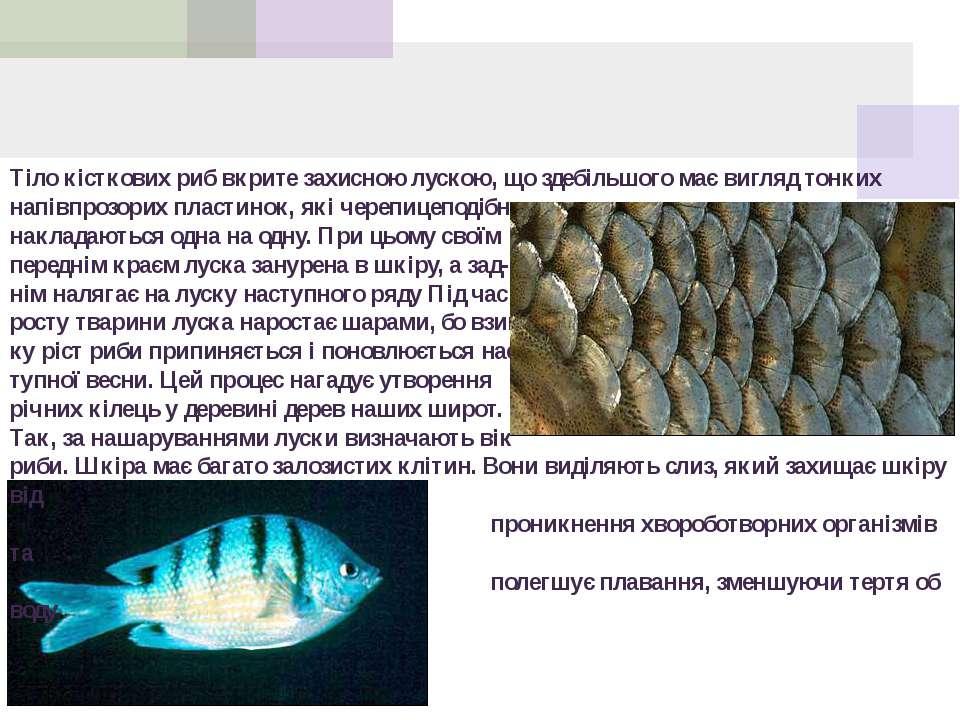Тіло кісткових риб вкрите захисною лускою, що здебільшого має вигляд тонких н...