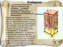 Епідерміс Є різновидом епітеліальної тканини. Зовнішній шар епідермісу — це м...