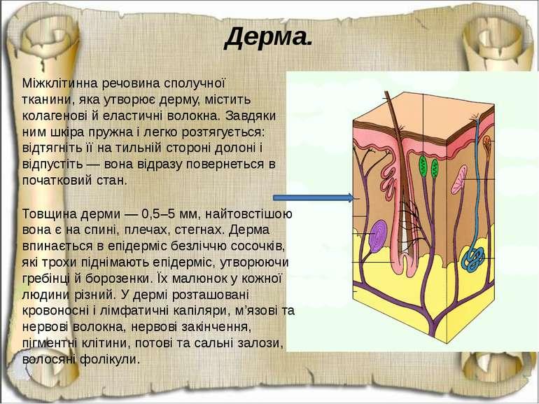 Дерма. Міжклітинна речовина сполучної тканини, яка утворює дерму, містить кол...