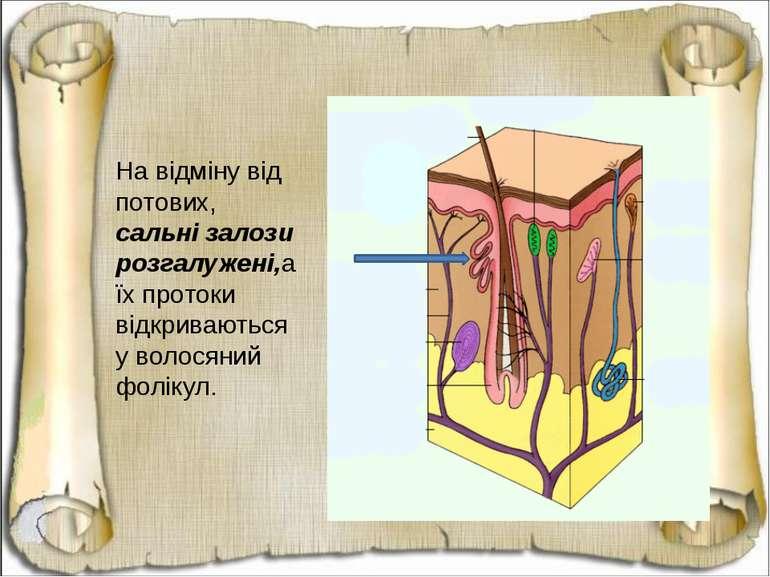 На відміну від потових, сальні залози розгалужені,а їх протоки відкриваються ...