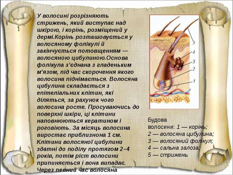 У волосині розрізняють стрижень, який виступає над шкірою, і корінь, розміщен...