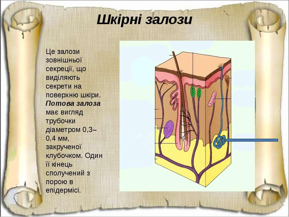 Шкірні залози Це залози зовнішньої секреції, що виділяють секрети на поверхню...