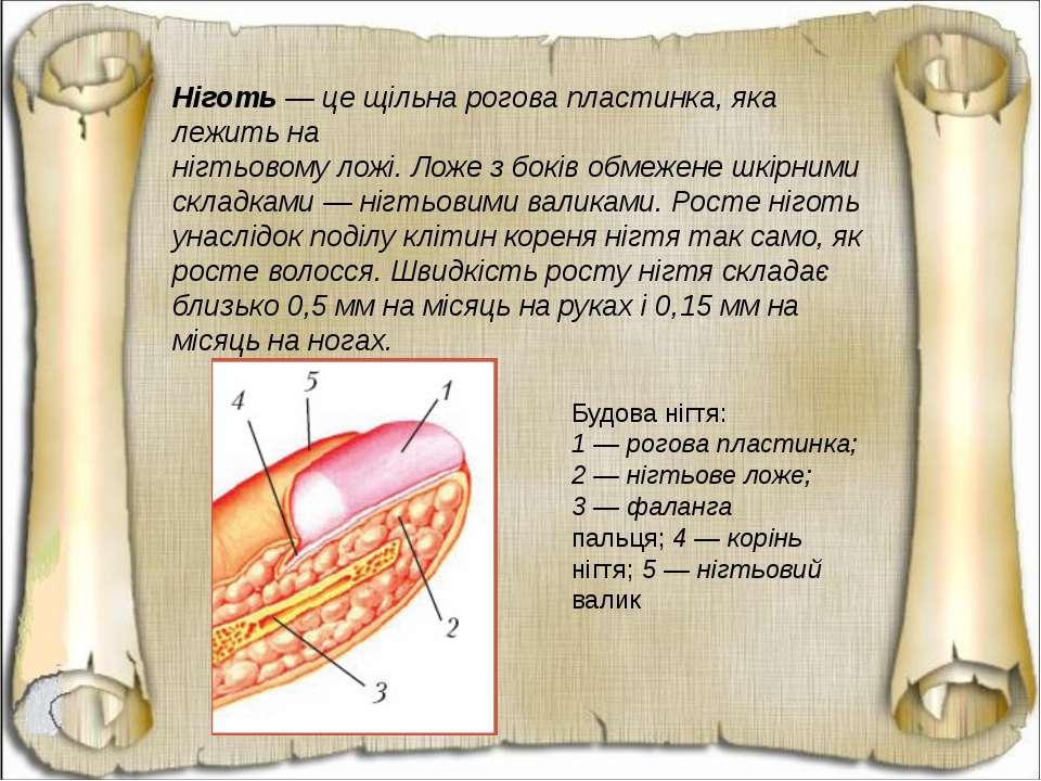 Ніготь — це щільна рогова пластинка, яка лежить на нігтьовому ложі. Ложе з бо...