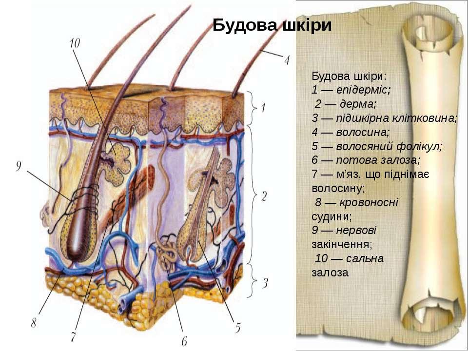 Будова шкіри: 1 — епідерміс; 2 — дерма; 3 — підшкірна клітковина; 4 — волосин...