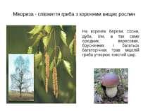 Мікориза - співжиття гриба з коренями вищих рослин На коренях берези, сосни, ...