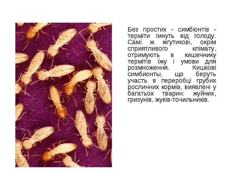 Без простих - симбіонтів - терміти гинуть від голоду. Самі ж жгутикові, окрім...