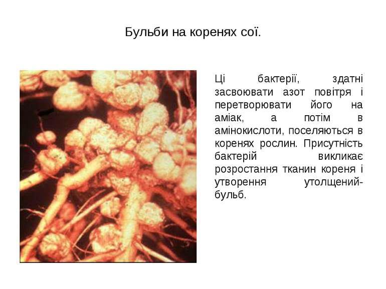 Бульби на коренях сої. Ці бактерії, здатні засвоювати азот повітря і перетвор...