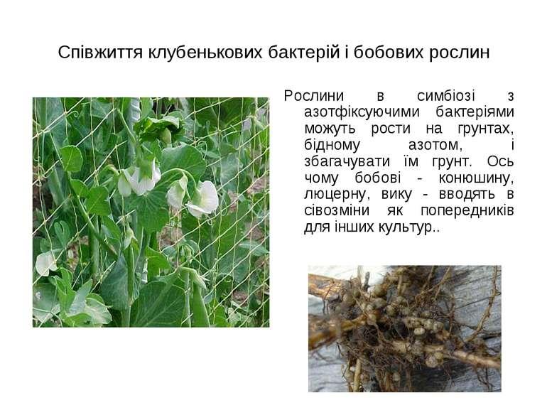 Співжиття клубенькових бактерій і бобових рослин Рослини в симбіозі з азотфік...
