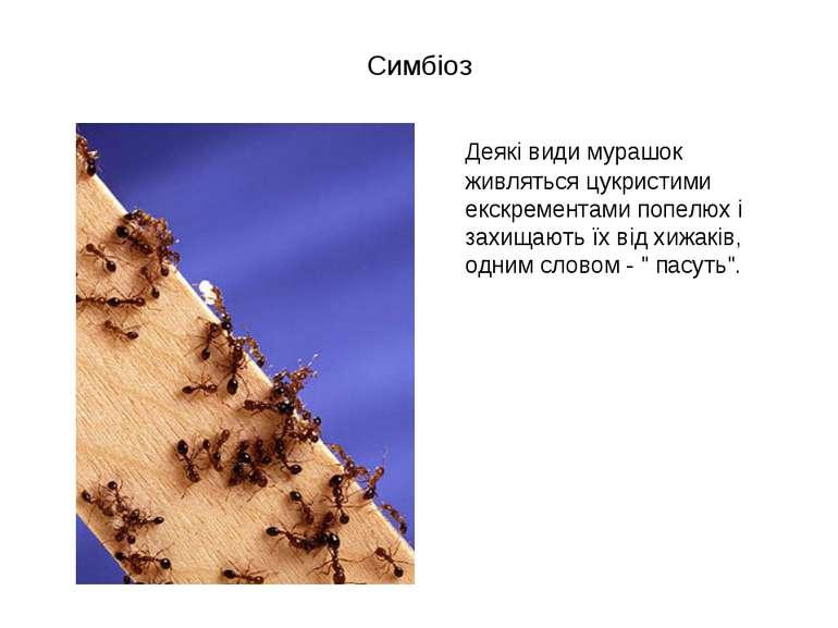 Симбіоз Деякі види мурашок живляться цукристими екскрементами попелюх і захищ...